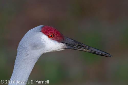 Sandhill Crane adult