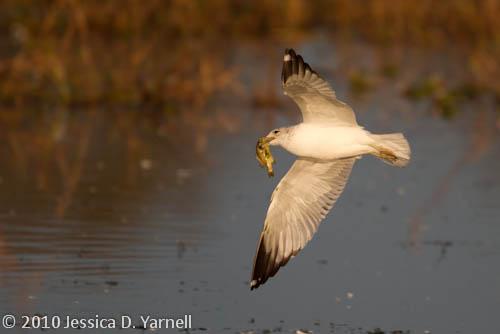 Ring-Billed Gull triumphant