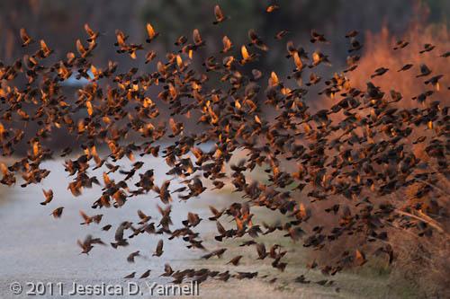 Red-Winged Blackbird blast-off
