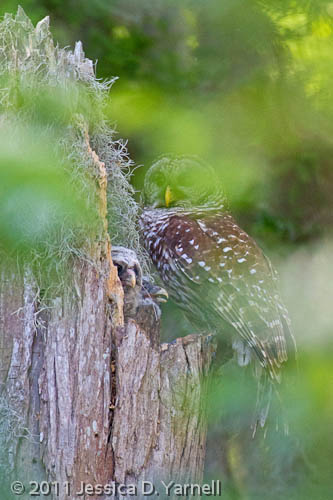 Barred Owlet and Adult