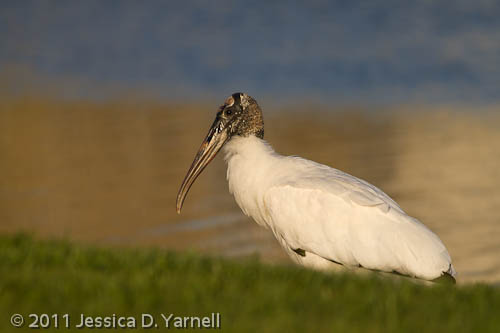 Wood Stork – just right