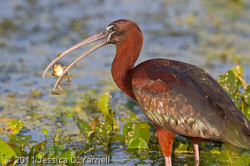 Glossy Ibis with Frog