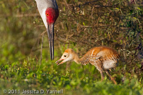 Sandhill Crane colt feeding