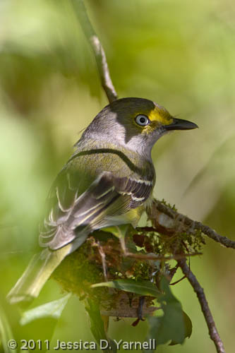 White-Eyed Vireo nest