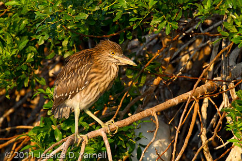 Black-Crowned Night Heron chick
