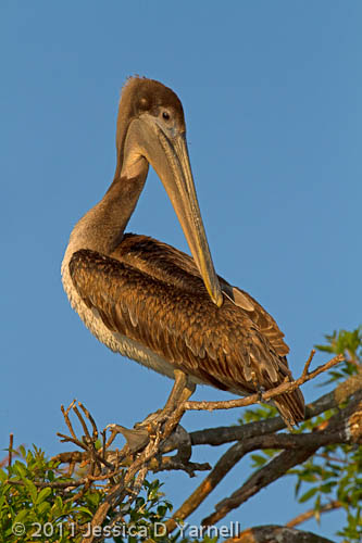 Brown Pelican juvenile