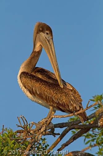 Brown Pelican juvenile