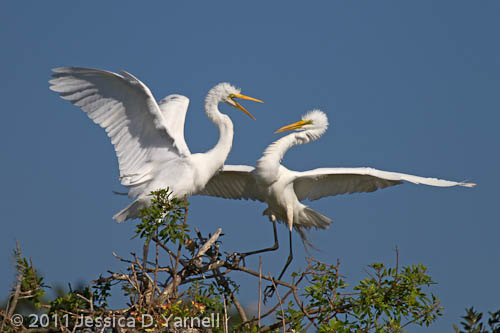Great Egret fledglings