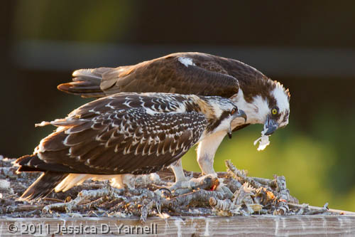 Juvenile Osprey with Fish