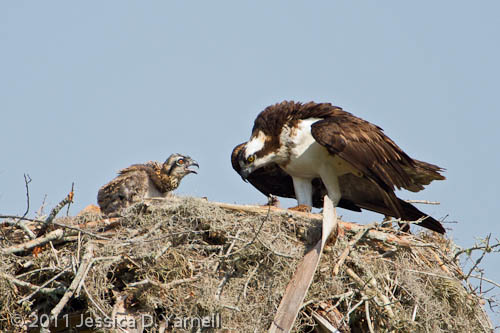 Mother and Baby Osprey