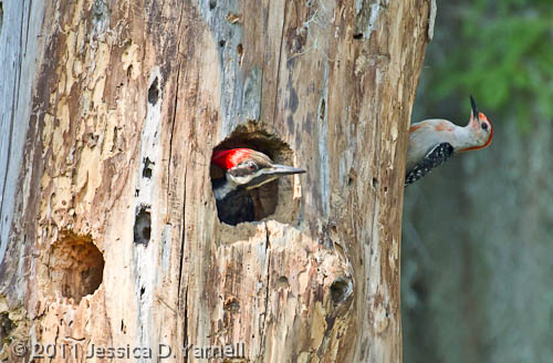 Pileated Woodpecker Nesting site