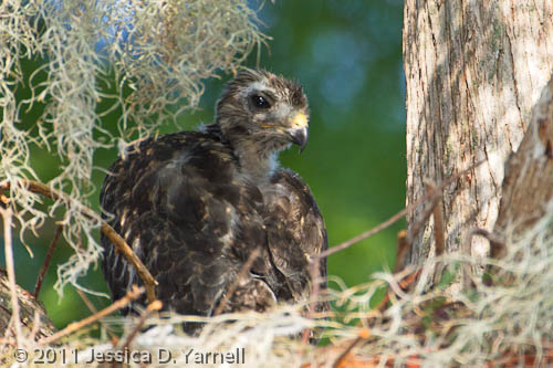 Hawk Baby – The Little One