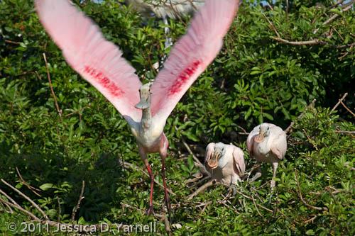 Roseate Spoonbill flees nest