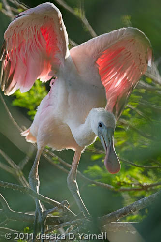 Roseate Spoonbill fledgling