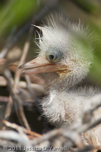 Snowy Egret chick