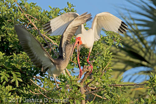 White Ibis young demand food