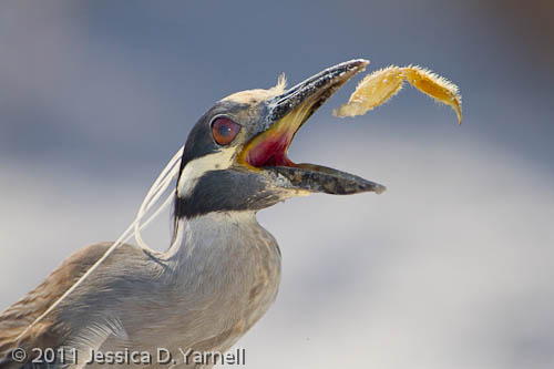 Yellow-Crowned Night Heron – Crab Leg snack