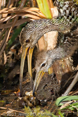 Mother and Baby Limpkin