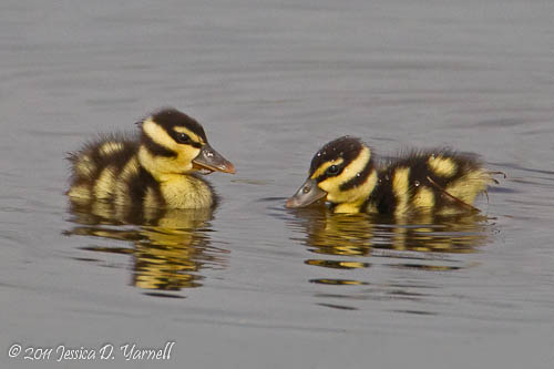 Black-bellied Whistling Ducklings