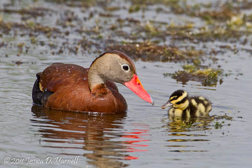 Black-bellied Whistling Duck Mother and Baby