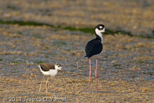 Black-Necked Stilts: Parent and chick