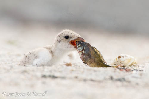 Black Skimmer chick with fish