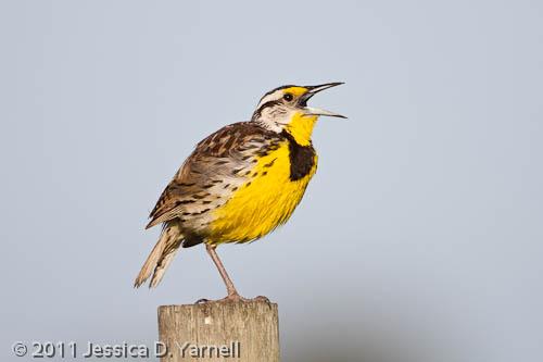 Eastern Meadowlark adult