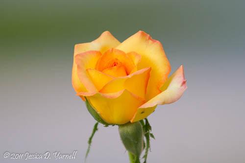 'Gold Medal' rose
