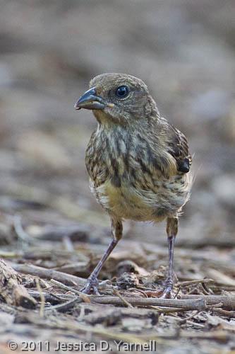 Juvenile Eastern Towhee
