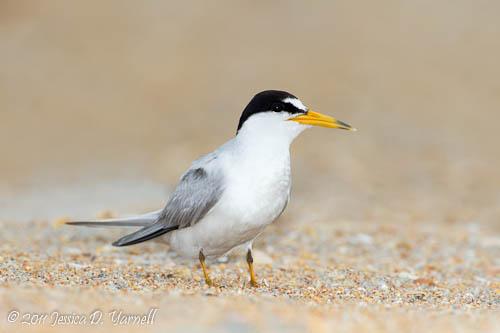 Least Tern adult