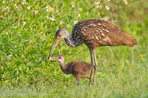Limpkin Mother and Baby