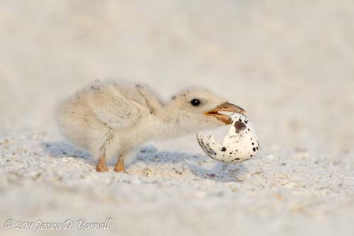 Mobile Home (Black Skimmer Chick).  Indian Rocks Beach.  July 2011.
