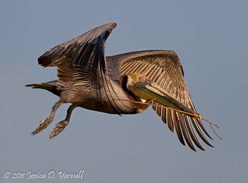 Nesting Brown Pelican.  Polk Rookery.  March 2011.