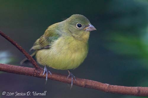 Female Painted Bunting in my own Backyard! April 2011.