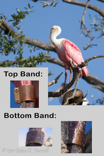 Roseate Spoonbill band