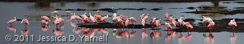 Roseate Spoonbill flock