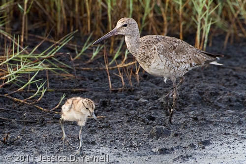Mom and Baby Willet