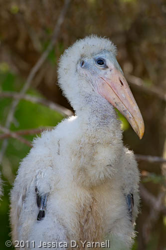 Wood Stork chick
