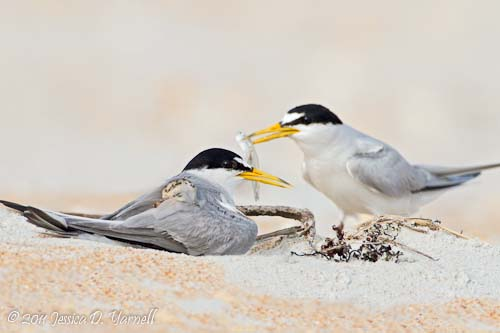 Nesting Least Terns.  Fort Matanzas.  June 2011.