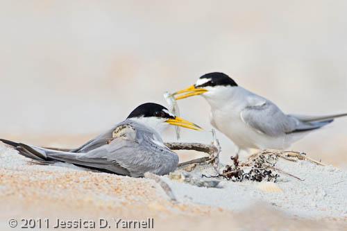 Least Tern family