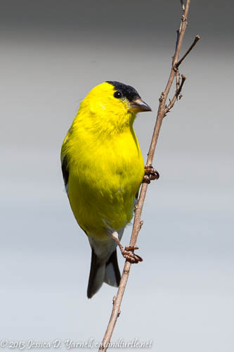 Male American Goldfinch, completely molted into his breeding colors.  Look at his crisp yellow feathers!