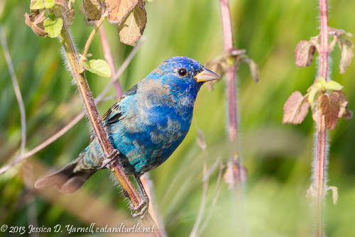 Indigo Bunting, a first-time visitor to my yard this year.
