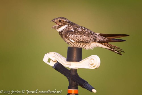 Common Nighthawk Calling