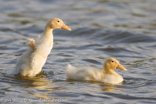 Ducklings at Play.  Lake Morton.