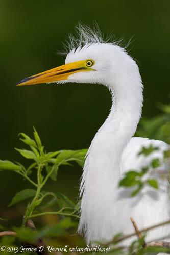 Great Egret juvenile.  Gatorland.