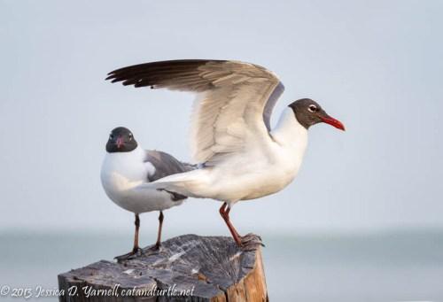 Laughing Gull Pair