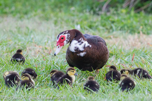 Mama Duck and her Babies