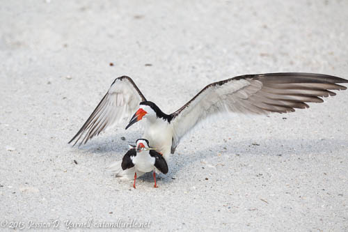 Black Skimmers Mating