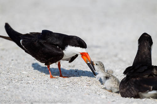 Black Skimmer Feeding Baby