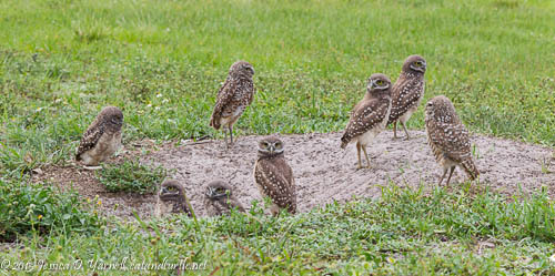 Family of Eight Burrowing Owls